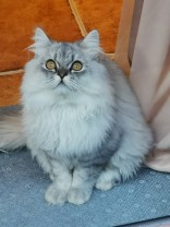 Hiina kass